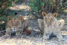 向前专心地看两只的雌狮 图库摄影