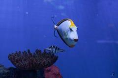 向前游泳Orangespine的unicornfish 库存图片