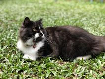 向后看黑白色的猫 免版税库存图片