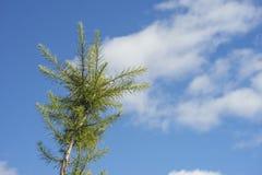 向天空杉木 免版税图库摄影