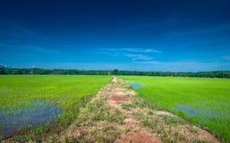 向密林的路径从稻 库存照片