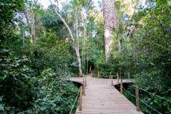 向巨型黄色木材树的道路在Tsitsikamma,南非 库存照片