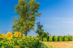 向日葵、葡萄园和教会在意大利乡下 库存照片