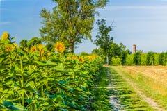 向日葵、葡萄园和教会在意大利乡下 图库摄影