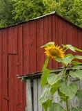 向日葵、附属建筑和红色谷仓 免版税库存图片