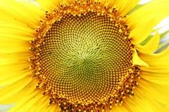 向日葵中部  库存图片