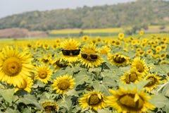 向日葵中间穿戴的玻璃 在泰国爱的阳光 免版税库存照片