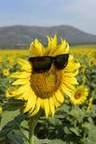 向日葵中间穿戴的玻璃 阳光在泰国 库存照片