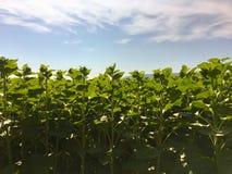 向日葵农业 绿色本质 在农场土地的农村领域在夏天 植物生长 种田场面 室外的横向 有机l 免版税图库摄影