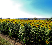向日葵农田的一个明亮的美好的场面 免版税库存照片