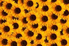 向日葵向日葵背景 免版税图库摄影