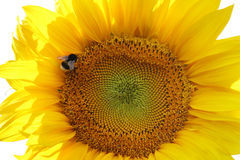 向日葵和一只土蜂在白色背景 免版税库存照片