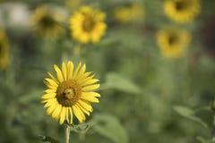 向日葵和一只蜂在庭院里 免版税库存图片