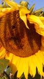 向日葵和土蜂 免版税图库摄影