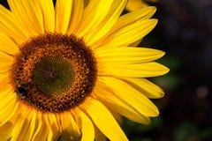 向日葵和土蜂 图库摄影