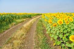 向日葵和土路,一个明亮的农村风景的领域 图库摄影