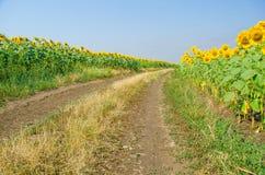 向日葵和土路,一个明亮的农村风景的领域 免版税图库摄影