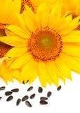 向日葵和在白色背景隔绝的向日葵种子 库存照片