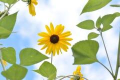 向日葵和天空 库存图片
