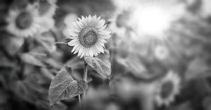 向日葵和太阳 免版税库存照片
