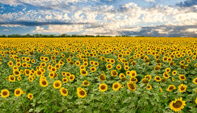 向日葵和日落天空的域 免版税图库摄影