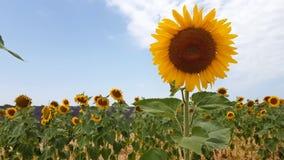 向日葵和淡紫色在法国的南部调遣 影视素材