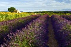 向日葵和淡紫色领域的老谷仓在高原De Valensole 免版税库存图片