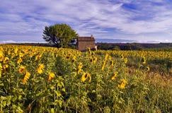 向日葵和淡紫色领域的老谷仓在高原De Valensole 免版税库存照片