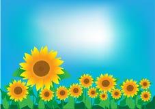 向日葵和清楚的天空的领域 库存图片