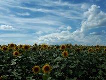 向日葵和清楚的天空 免版税库存图片