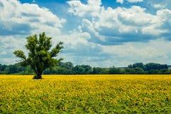向日葵和热的夏日 库存图片