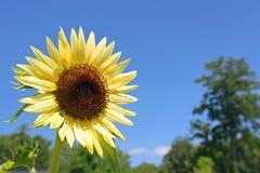 向日葵和蓝天 库存图片