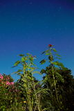 向日葵和蓟在晚上 图库摄影