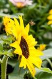 向日葵和蜂,香港花卉展览2015年 免版税库存照片