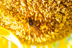 向日葵和蜂 库存图片