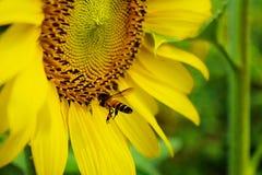 向日葵和蜂 免版税图库摄影