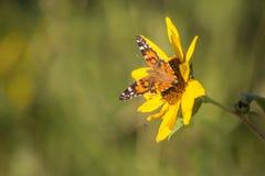 向日葵和黑脉金斑蝶 免版税库存图片