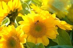向日葵和黄蜂 免版税库存图片