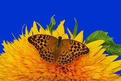 向日葵和蝴蝶-特写镜头 库存照片