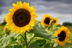 向日葵在一个公园在天之前 库存照片