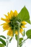 向日葵在一个晴天 库存图片