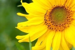 向日葵在一个晴天 库存照片