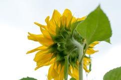 向日葵在一个晴天 免版税图库摄影