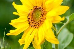 向日葵在一个晴天 免版税库存图片