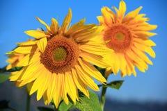 向日葵在一个领域的一清早在Carpatians 库存照片