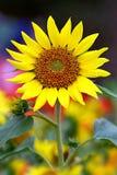 向日葵在一好日子在庭院里 免版税库存照片