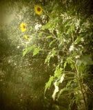 向日葵在下午阳光下 免版税图库摄影