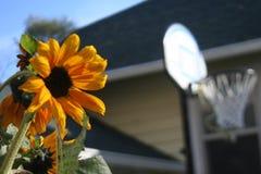 向日葵在与一个篮球篮的一明亮的天在背景中 库存照片