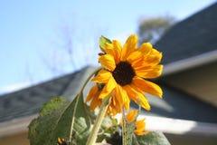 向日葵在与一个篮球篮的一明亮的天在背景中 库存图片