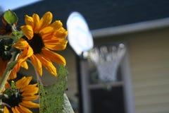 向日葵在与一个篮球篮的一明亮的天在背景中 图库摄影